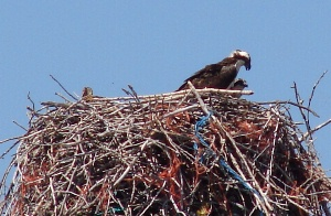 Ospreys collecting tolls at the bridge.
