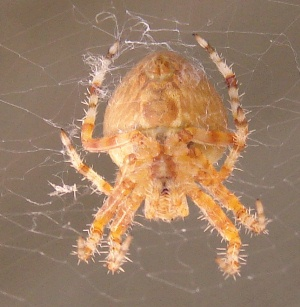 Orange Orb Weaver