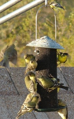 Goldfinch Feeding Frenzy